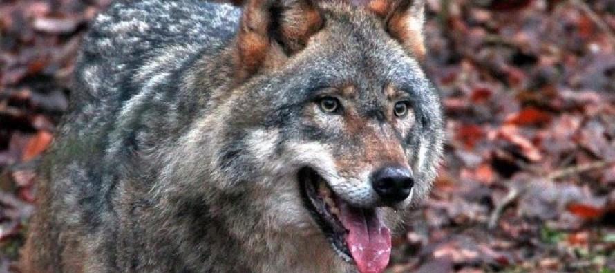 Вълци нападнаха овце и кози в Конуш