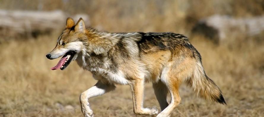 Вълци изядоха конче в Българска поляна