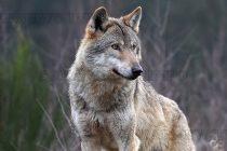 Таксация показа увеличение  на дивите свине и вълците