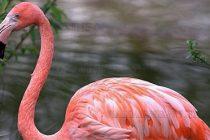 Рекорден за България  брой розови фламинги в  Източните Родопи