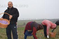 Прибирането на реколтата от  шафран е към края си